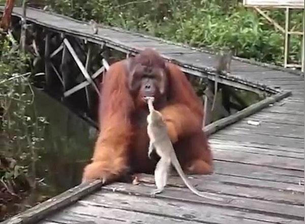 搞事情!印尼贪吃猕猴从大猩猩嘴里偷香蕉被按倒