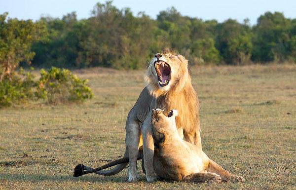 """大展雄风!雄狮交配前怒吼对母狮""""咧嘴笑"""""""