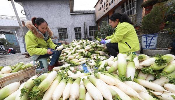贵州毕节:萝卜丰收忙