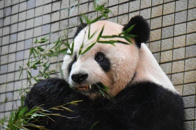 """全球首例!大陆赠台大熊猫""""团团"""" 犬齿断裂流血,装上牙套"""