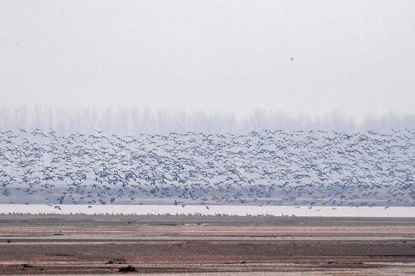"""河南黄河湿地现""""万鸟飞临""""景观"""