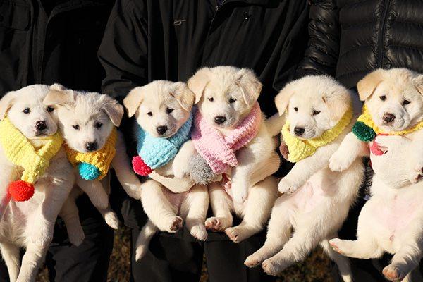 金正恩送韩国的丰山犬生6个宝宝 青瓦台晒近照
