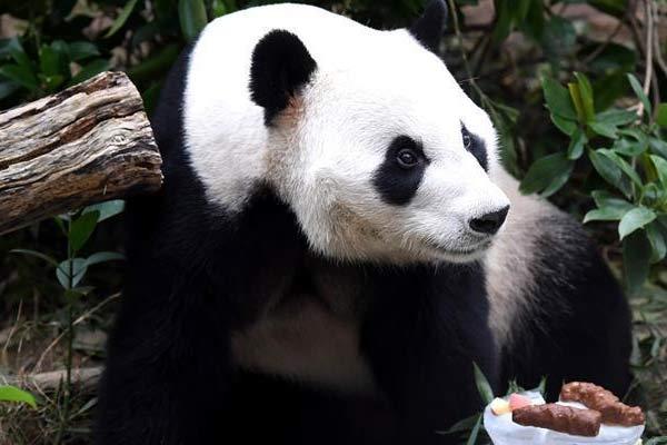 """广西柳州动物园为大熊猫""""明浜""""举办生日会"""