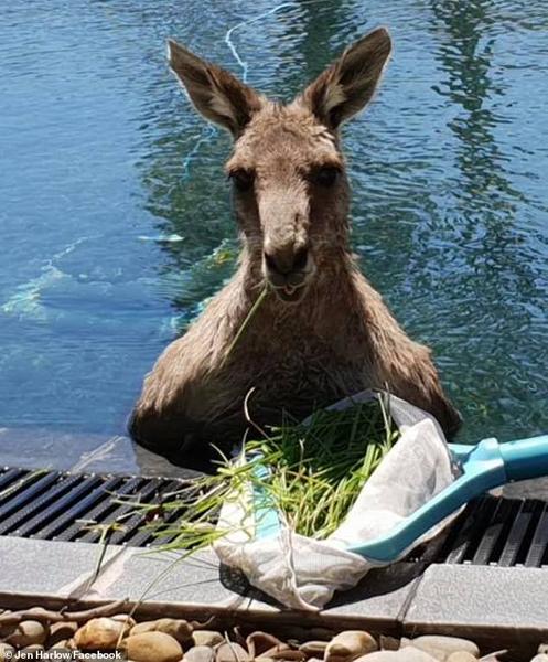 澳袋鼠闯入居民家泳池 畅玩消暑惊呆房主