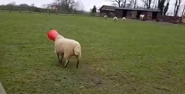 蠢萌!英国一绵羊偷吃鸡饲料却被鸡饲槽卡住脑袋