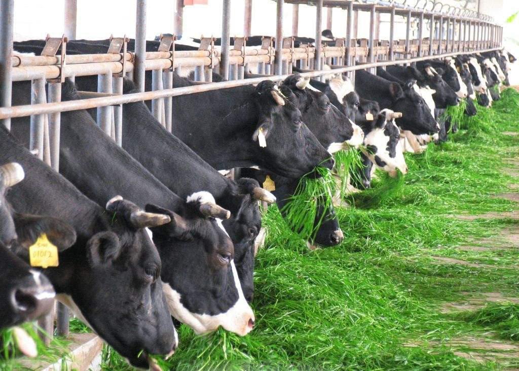 加快确立奶农规模化养殖的基础地位