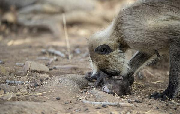 令人心?#26891;?#21360;度叶猴妈妈怀抱死去婴猴悲?#20174;?#32477;