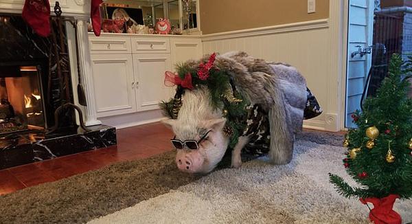 美女子花重金为114公斤重宠物猪办生日派对引热议