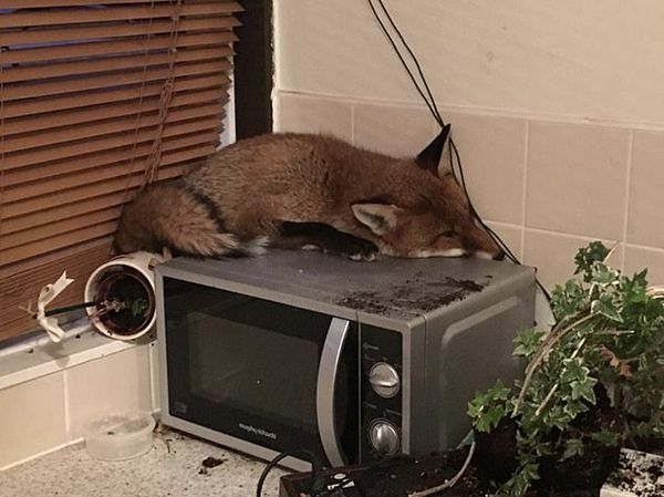英居民下楼吃早饭时发现一狐狸睡在微波炉上