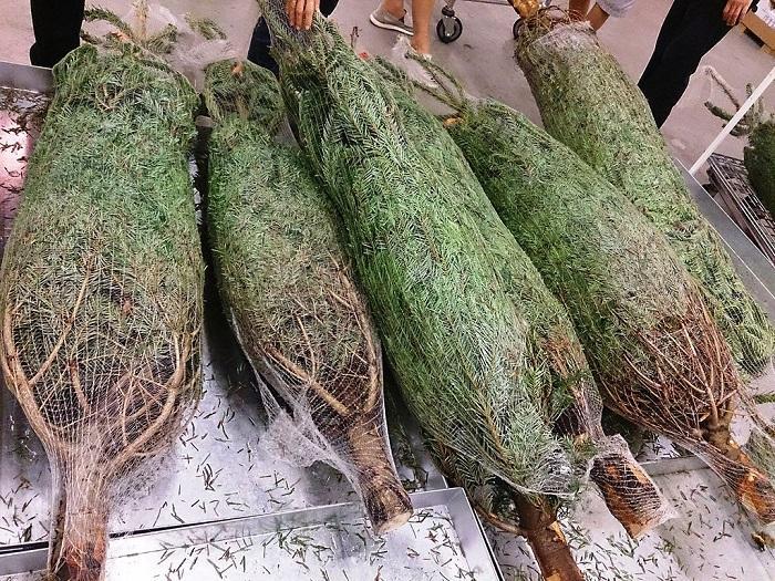 圣诞树回收再利用:新研究将之转化成油漆原材料
