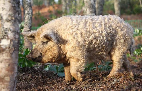 """英国小猪长了一身卷毛 可爱造型似""""绵羊"""""""