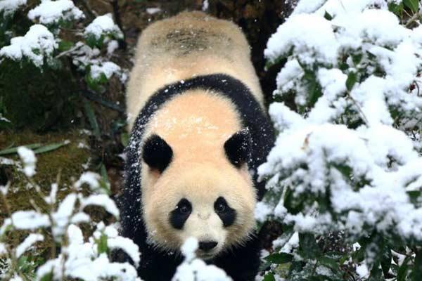 成都降雪 大熊猫兴奋指数爆表