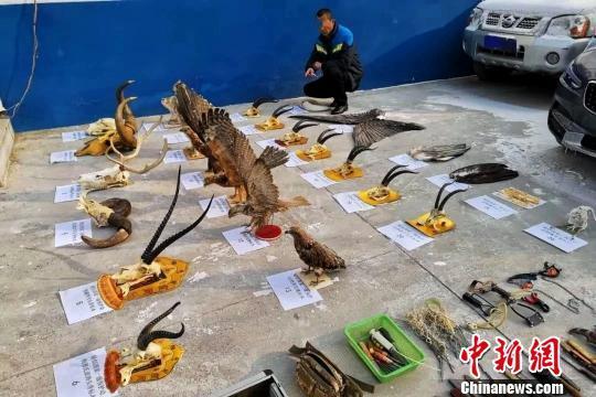 青海破获非法收购出售野生动物制品案:查获藏羚羊等动物标本