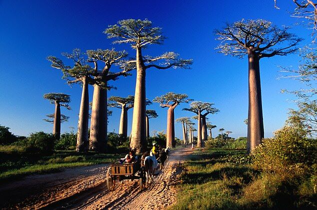 研究:气候变化或致非洲生命之树逐渐死亡