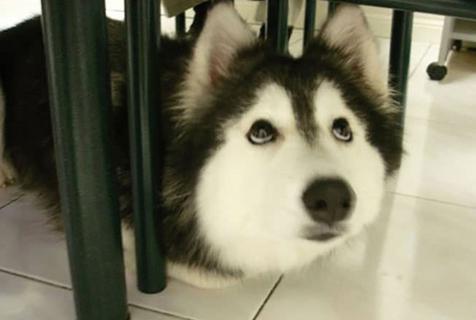 狗子:我觉得我是一只喵