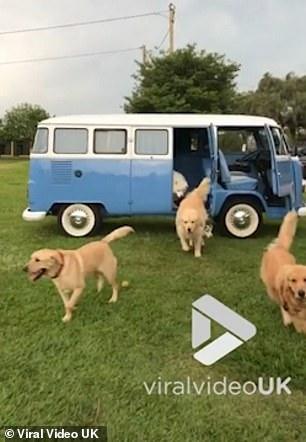 17只萌犬从露营车夺门而出撒欢惹得主人笑声不断