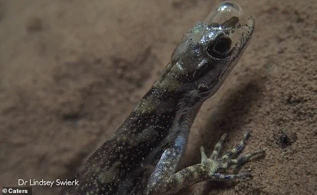 奇妙!科学家揭秘蜥蜴如何在水下呼吸