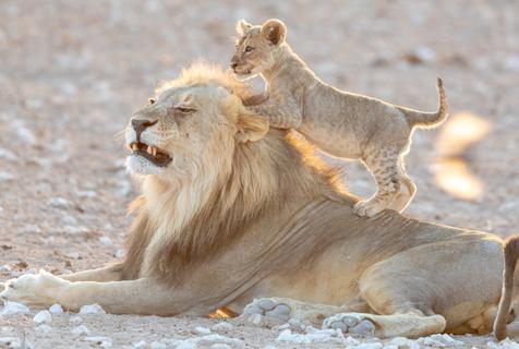 """""""熊孩子""""南非狮崽跳到爸爸背上玩耍"""