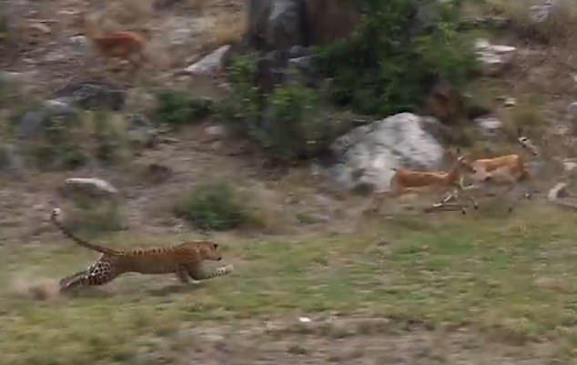 南非花豹伏击羚羊群 身手矫健英姿飒爽