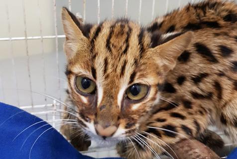 柬埔寨小贩路边卖猫肉 法国医生救下罕见渔猫