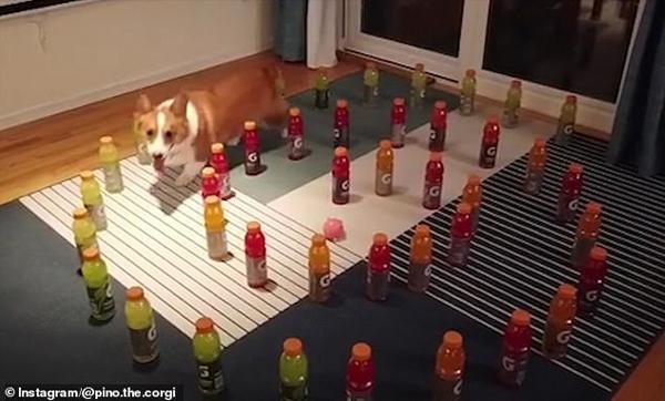 美聪明柯基犬轻松穿过瓶子漩涡迷宫取到奖励