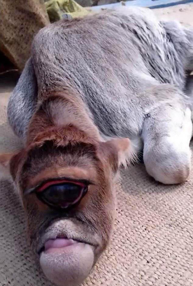 印独眼牛犊先天残疾被尊为神 深受当地人崇拜