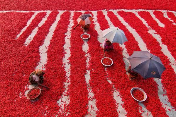 孟加拉国农民晾晒辣椒 满眼火红犹如铺上红地毯