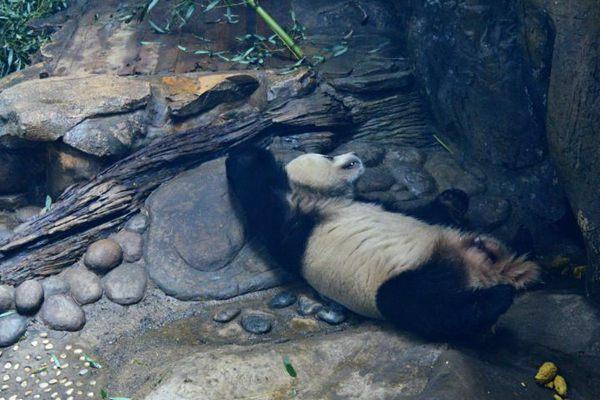 """大熊猫""""高枕无忧""""""""眯冬"""" 睡姿笑翻游客"""