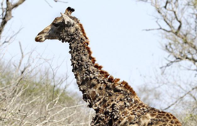 南非一长颈鹿因被鸟啄脖子长满疣状凸起物