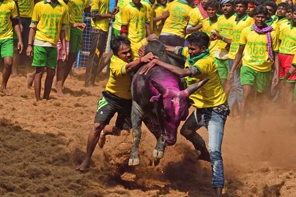 惊险刺激!印度泰米尔举行传统驯牛节 参赛者徒手与牛肉搏