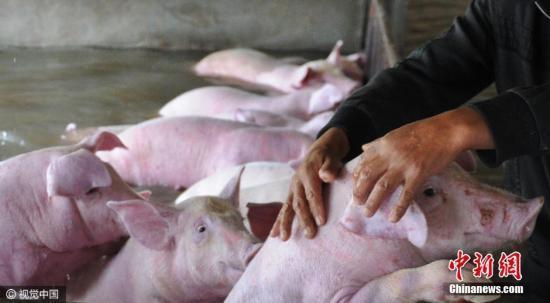 中国累计扑杀生猪91.6万头 农业农村部:非洲猪瘟对市场影响有限