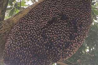"""精彩!越南巨?#22836;?#24034;蜜蜂集体表演""""蜂浪""""驱?#21916;?#39135;者"""