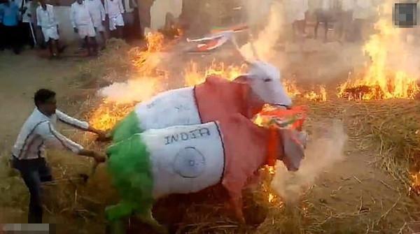 印居民逼牛跳火堆庆祝丰收节引强烈不满