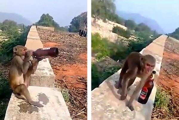 笑喷!印度一猴子抢游客啤酒上墙独自畅饮