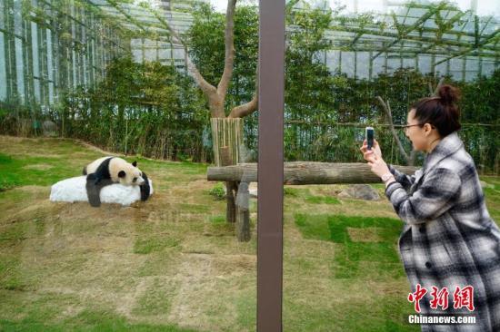 韩媒:中国旅韩熊猫夫妇人气旺 韩民众期待其诞下后代