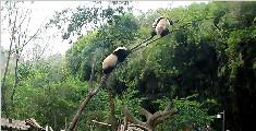 两只胖熊猫居然把树枝压断了