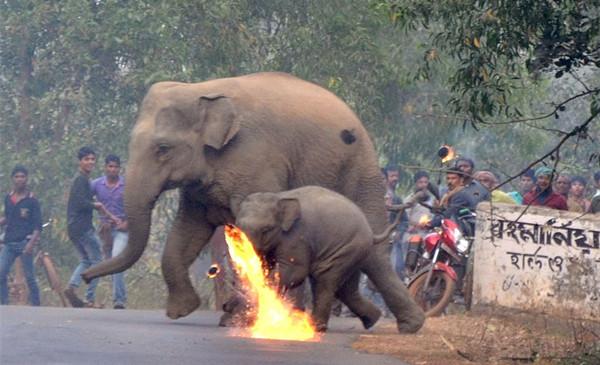 令人心碎!印村民扔火球驱赶闯入村庄大象