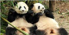 这里有两只大圆脸熊猫正在吃竹子