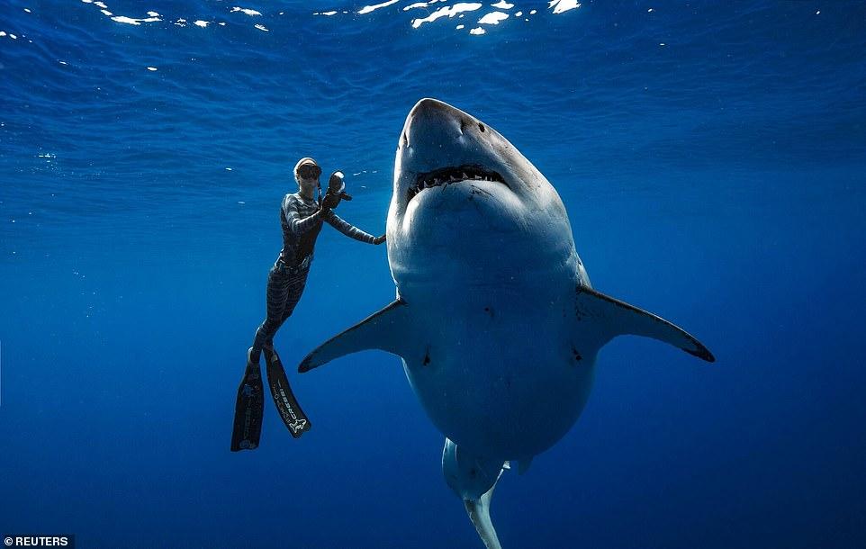 """巨型大白鲨""""深蓝""""现身夏威夷 重2.5吨长6.1米"""