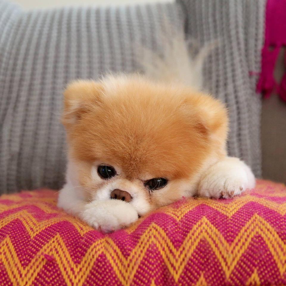 """美媒:""""全球最可爱狗狗""""小布病逝 中国网友:它照亮了我们的生活"""