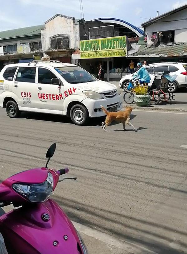 心碎!菲律宾一幼犬被撞 狗妈妈奔入车流狂吠求救