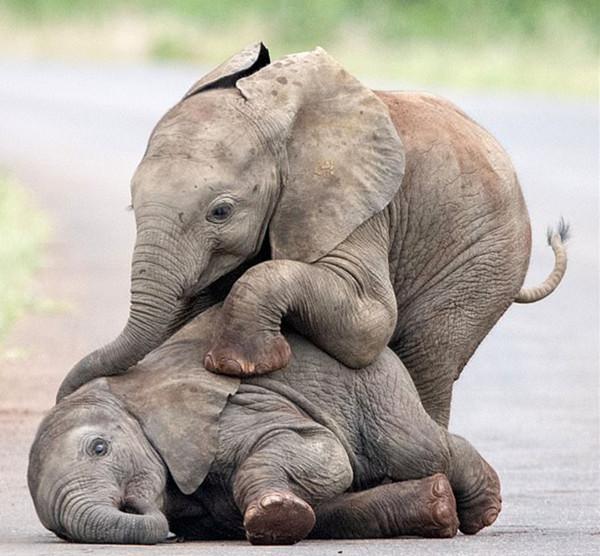 萌!南非公园里小象互相嬉戏打闹引游客忍俊不禁