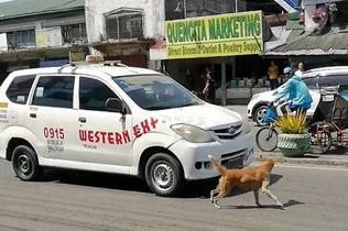 心?#26891;?#33778;律宾一幼犬被撞 母亲奔入车流狂吠求救