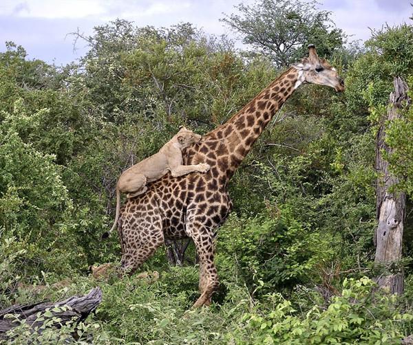 坚持就是胜利!长颈鹿遭狮群攻击4小时终脱困