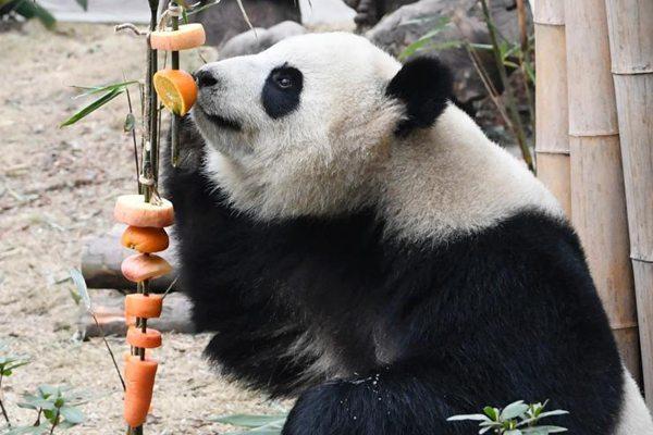 """成都大熊猫基地办新春丰容活动 水果""""糖葫芦""""插满地"""