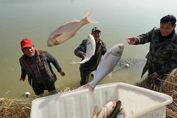 安徽肥东:冬捕分鱼迎新春
