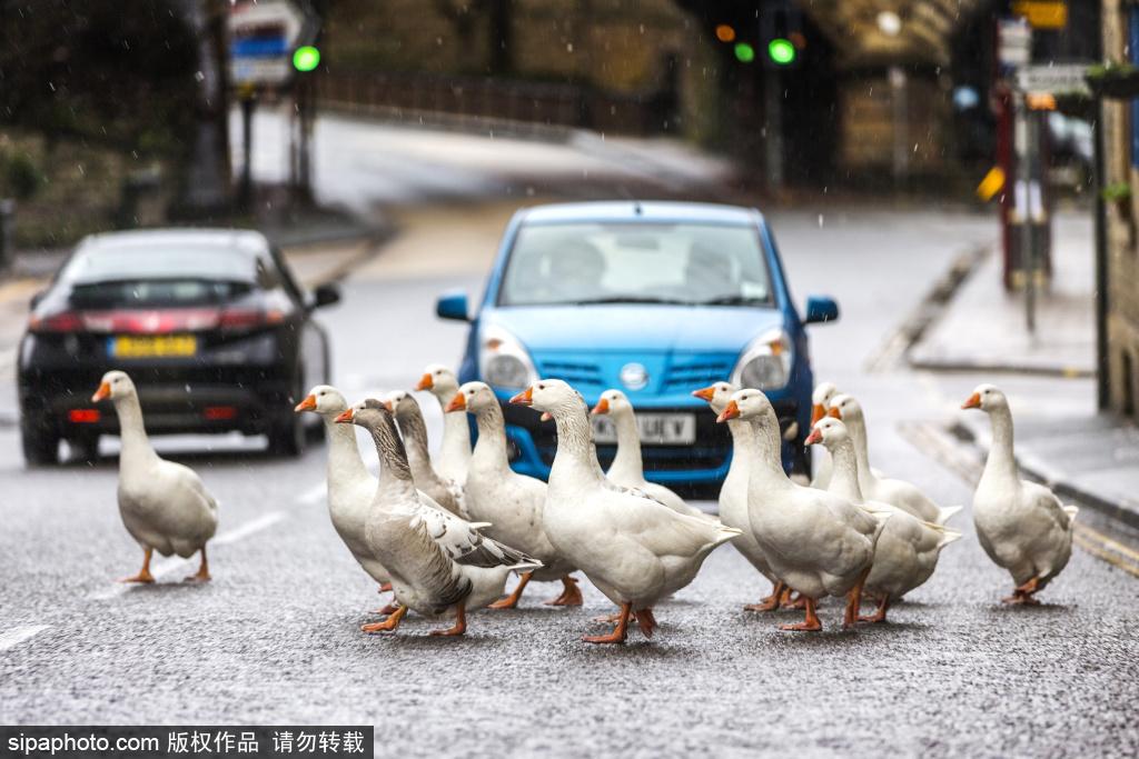 英国约克郡:群鹅大摇大摆过马路 阻碍交通