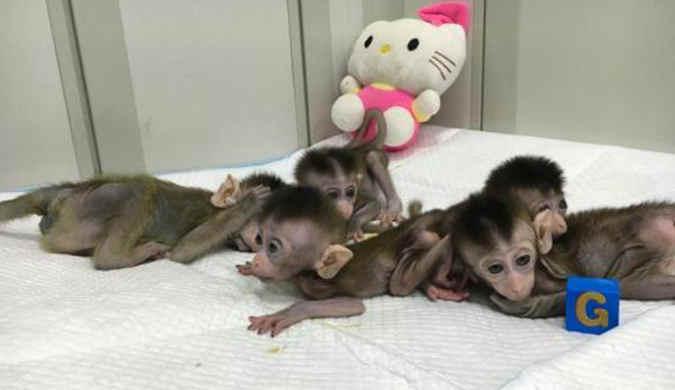 中国诞生世界首批体细胞克隆疾病模型猴