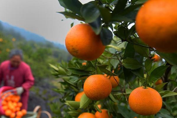 湖北宣恩:晚熟甜橙采摘忙
