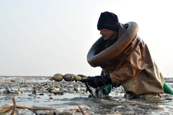 白洋淀深冬挖藕人